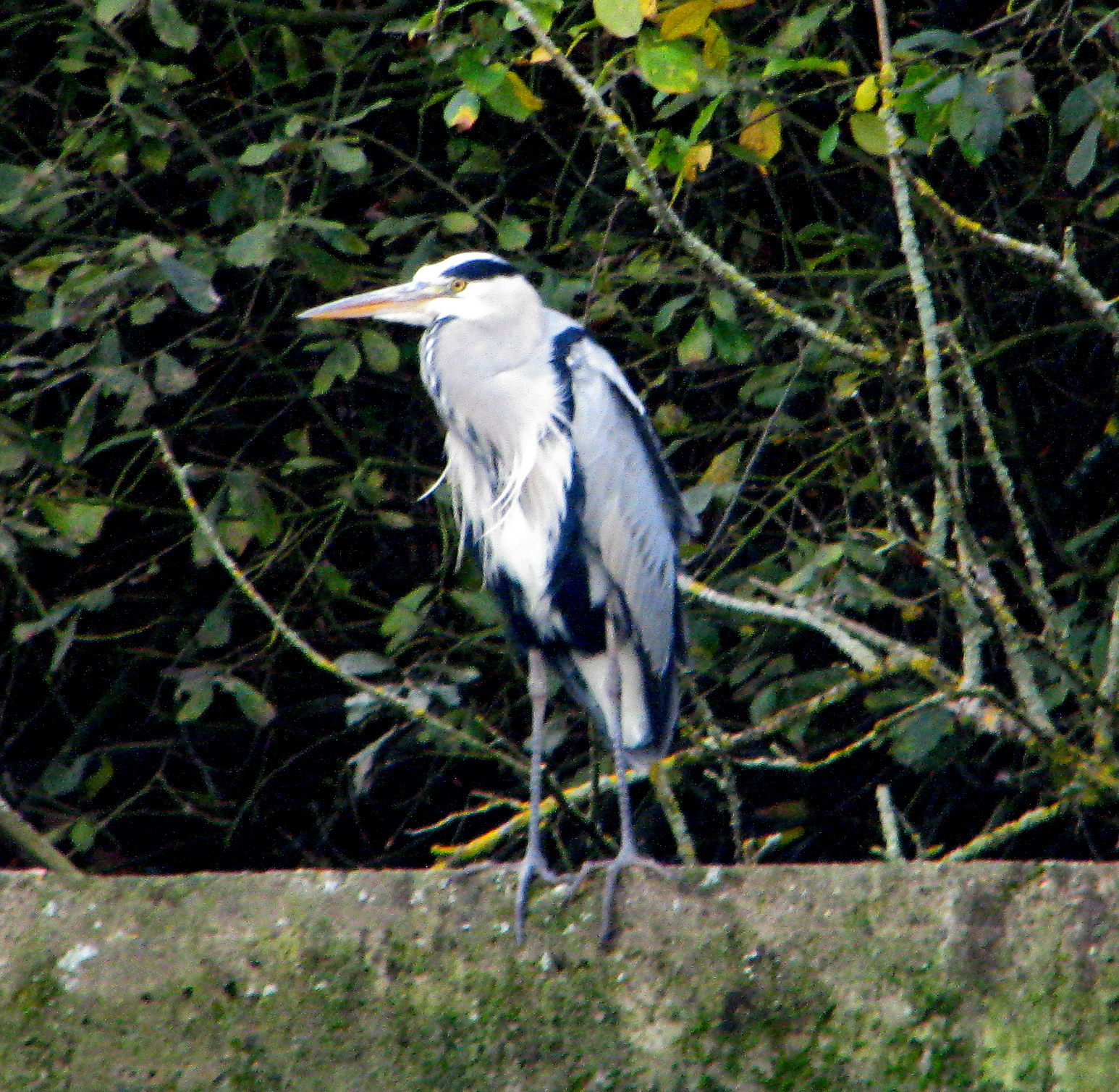 Neck tucked in, this Grey Heron waits for lunch.