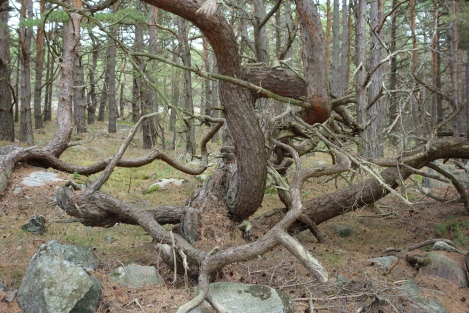 On Kalvo, the gnarliest tree that we'd ever encountered.