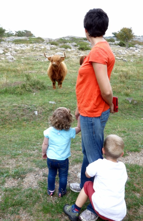Highland Cattle.JPG