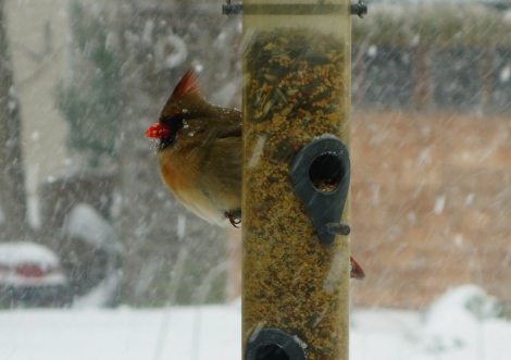 Mommy cardinal in a snow storm.